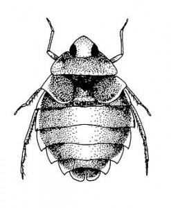 aphelocheirus
