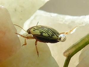 Nebrioporus baeticus (2)